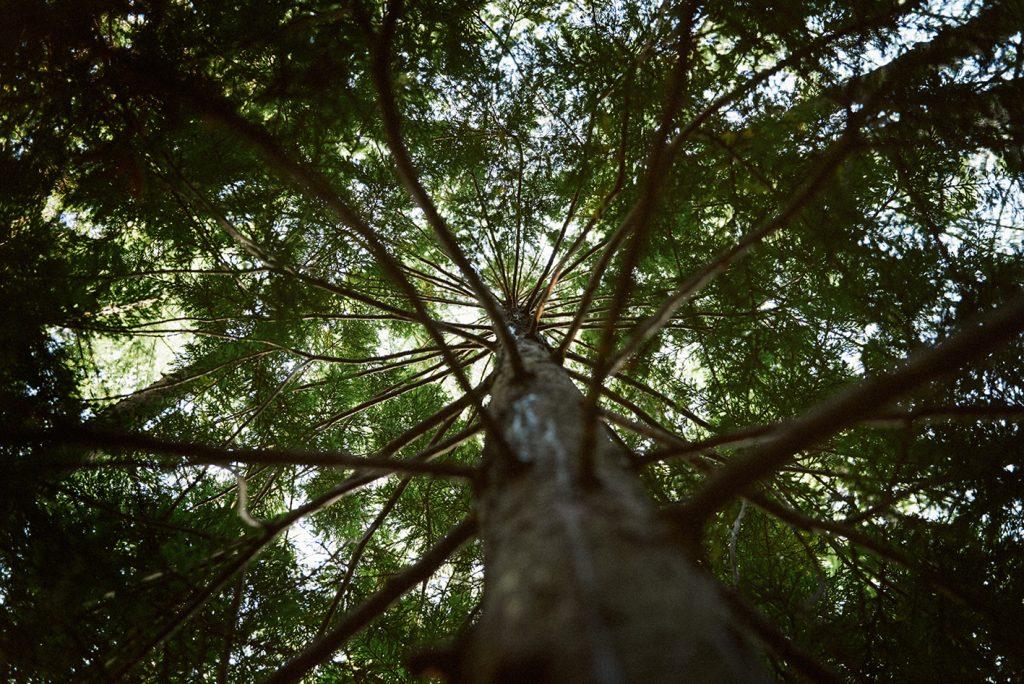 成木になるまで200年以上の時間が必要な青森ヒバ。